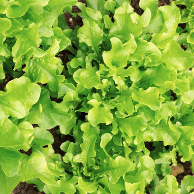 Lettuce (Leaf) Salad Bowl - (Lactuca Sativa) Seeds
