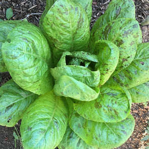 Lettuce (Romaine) Flashy Trout - (Lactuca Sativa) - Ossi Seeds