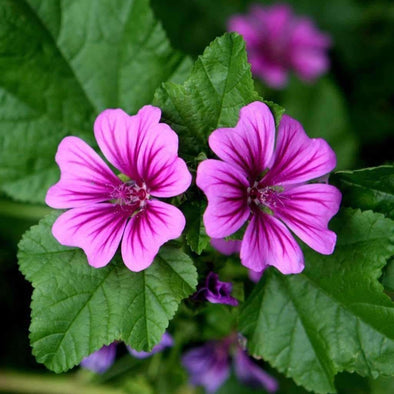 Mallow (Common) - (Malva Sylvestris Mauritiana) Seeds