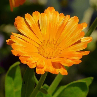 Marigold English - (Calendula Officinalis) Seeds