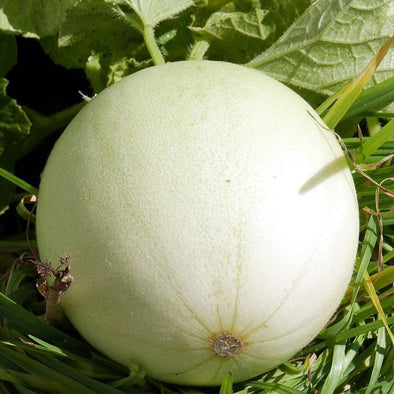 Melon 'Honey Dew Green Flesh' - (Cucumis melo 'inodorus') seeds - amkha-seed.myshopify.com