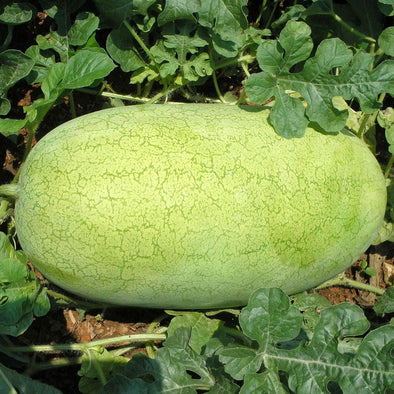 Melon (Watermelon) Charleston Gray - (Citrullus Lanatus) Seeds