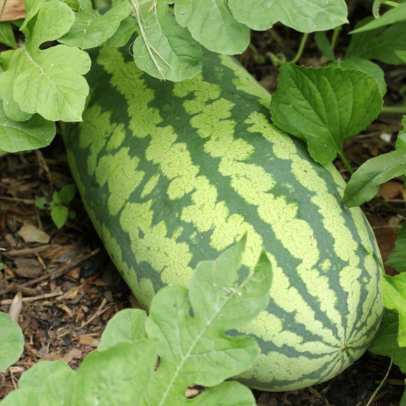 Melon (Watermelon) Congo - (Citrullus Lanatus) Seeds