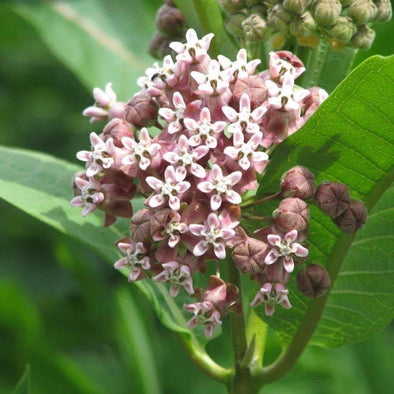 Milkweed Common - (Asclepias Syriaca) Seeds