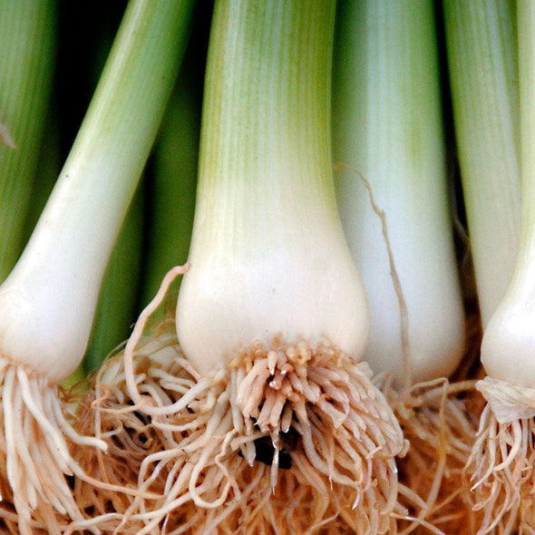 Onion (Bunching) Heshiko - (Allium Fistulosum) Seeds