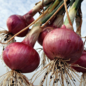 Onion 'Red Grano' - (Allium cepa) seeds - amkha-seed.myshopify.com