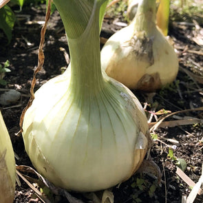 Onion Sweet Spanish White - (Allium Cepa) Seeds