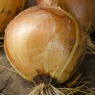Onion 'Sweet Spanish Yellow' - (Allium cepa) seeds - amkha-seed.myshopify.com