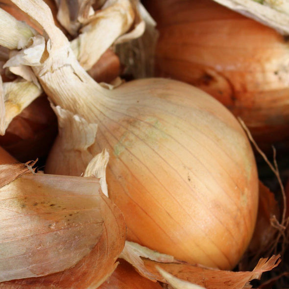Onion 'Texas Early Grano' - (Allium cepa)