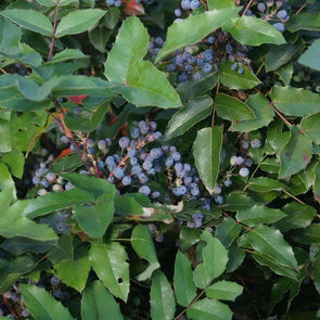 Oregon Grape - (Mahonia Aquifolium) Seeds