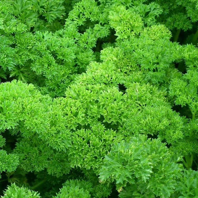 Parsley Moss Curled - (Petroselinum Crispum) Seeds