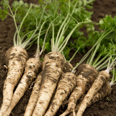 Parsley (Root) Hamburg Rooted - (Petroselinum Crispum Tuberosum) Seeds