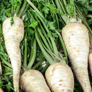 Parsnip 'Hollow Crown' - (Pastinaca sativa) seeds - amkha-seed.myshopify.com