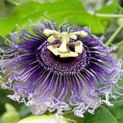Passion Flower (purple) - (Passiflora incarnata) seeds - amkha-seed.myshopify.com