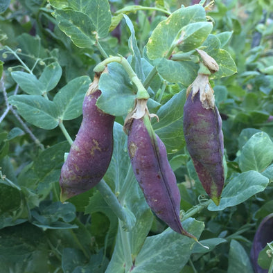 Pea Blue Podded - (Pisum Sativum) Seeds