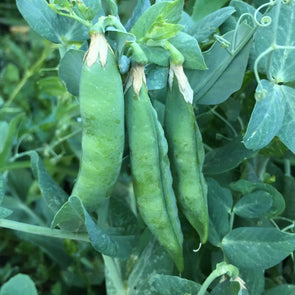 Pea Green Arrow - (Pisum Sativum) Seeds