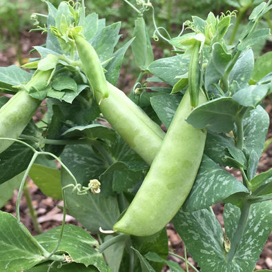 Pea (Snap) Sugar Bon - (Pisum Sativum) Seeds
