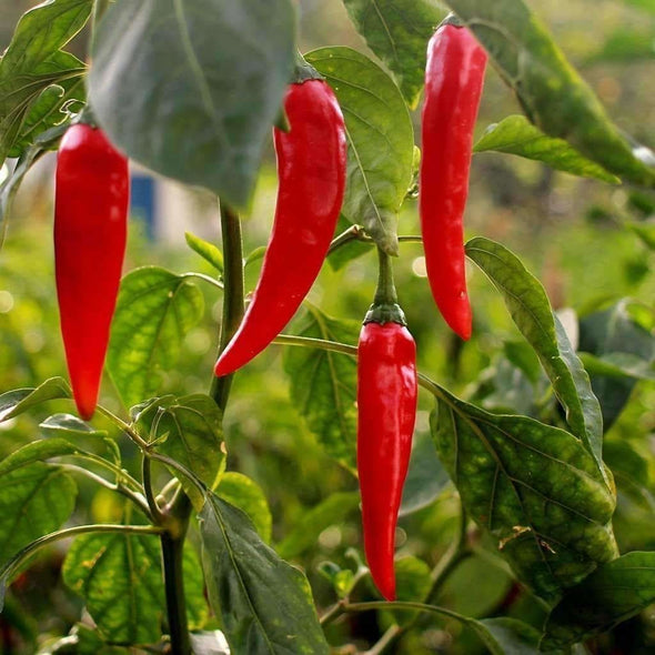 Pepper (Hot) Aji? Crystal - (Capsicum Baccatum) Seeds