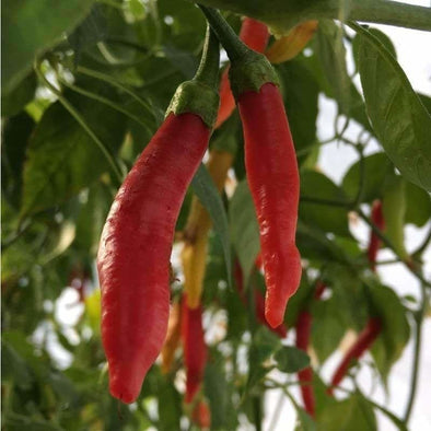 Pepper (Hot) Aji? Peruvian - (Capsicum Baccatum) Seeds