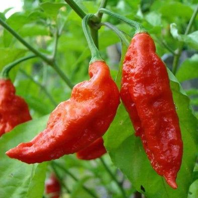 Pepper (Hot) Bhut Jolokia (Ghost Pepper) - (Capsicum Chinense) Seeds