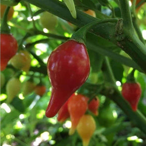 Pepper (Hot) Biquinho (Red) - (Capsicum Chinense) Seeds
