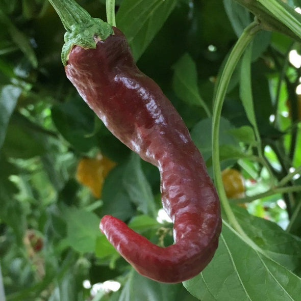 Pepper (Hot) Guntur Sannam - (Capsicum Annuum) Seeds