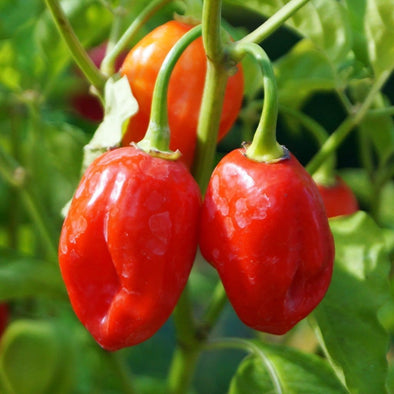 Pepper (Hot) Habanero (Caribbean Red) - (Capsicum Chinense) Seeds