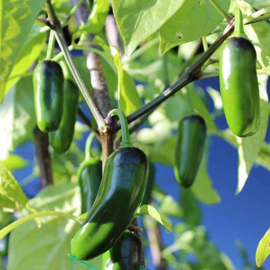 Pepper (Hot) Jalapeno M - (Capsicum Annuum) Seeds