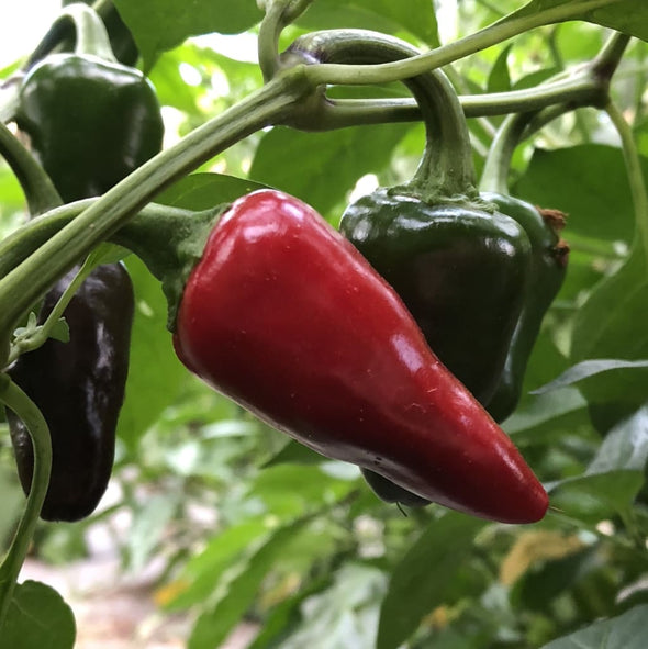 Pepper (Hot) Jaluv An Attitude - (Capsicum Annuum) - Ossi Seeds