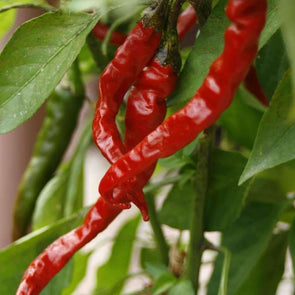 Pepper (Hot) Long Red Thin Cayenne - (Capsicum Annum) Seeds