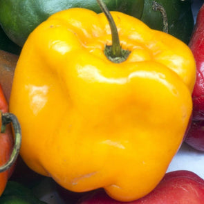 Pepper (Hot) Manzano (Yellow) - (Capsicum Pubescens) Seeds