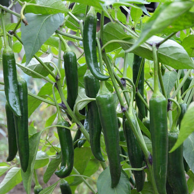 Pepper (Hot) Serrano - (Capsicum Annuum) Seeds