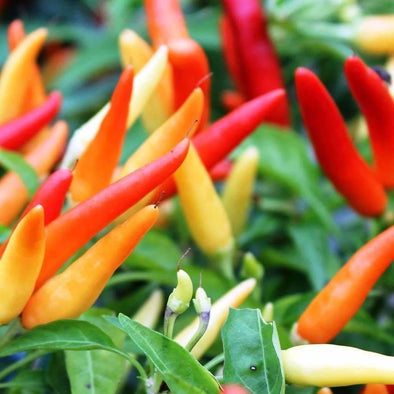 Pepper (Hot) Tobasco - (Capsicum Annuum) Seeds