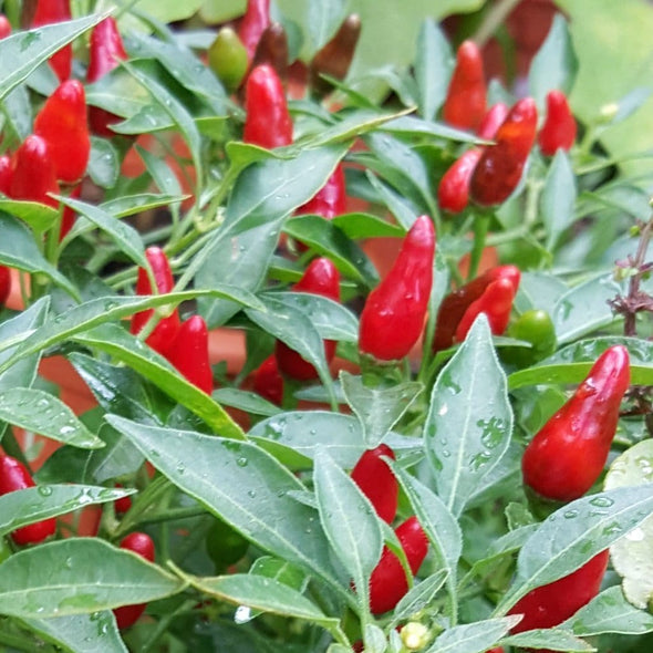 Pepper (Hot) Zimbabwe Bird - (Capsicum Frutescens) Seeds