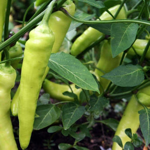 Pepper (Sweet) Sweet Banana - (Capsicum Annuum) Seeds