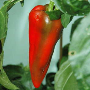 Pepper (Sweet) Beaver Dam - (Capsicum Annuum) Seeds