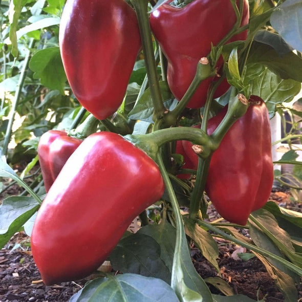 Pepper (Sweet) Big Red - (Capsicum Annuum) Seeds