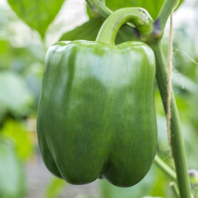 Pepper (Sweet) California Wonder 300 Tmr - (Capsicum Annuum) Seeds