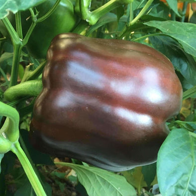 Pepper (Sweet) Chocolate Bell - (Capsicum Annuum) Seeds