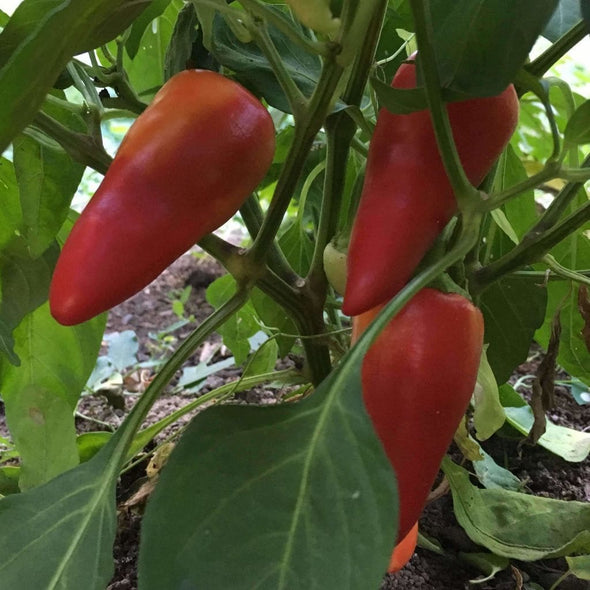 Pepper (Sweet) Hungarian Sweet Wax - (Capsicum Annuum) Seeds