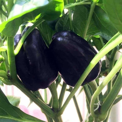 Pepper (Sweet) Purple Beauty - (Capsicum Annuum) Seeds