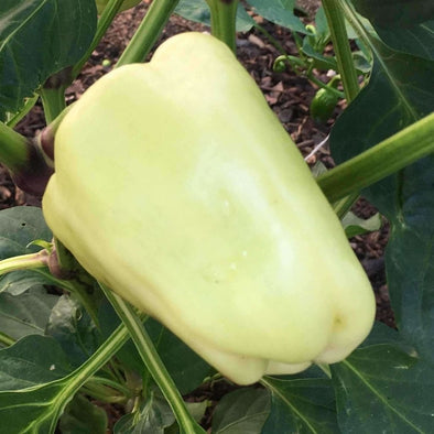Pepper (Sweet) White Bell - (Capsicum Annuum) Seeds