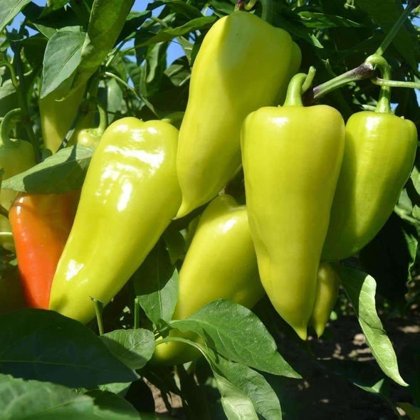 Pepper (Sweet/hot) Santa Fe Grande - (Capsicum Annuum) Seeds