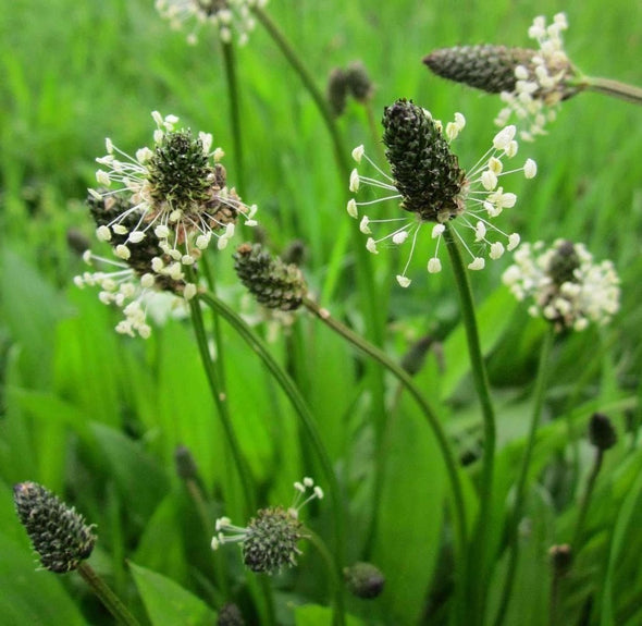 Plantain English - (Plantago Lanceolata) Seeds