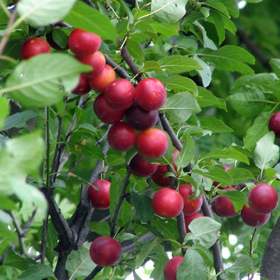 Plum Cherry - (Prunus Myrobalan) Seeds