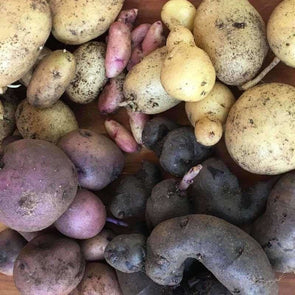 Potato Tetraploid Mix (True Potato Seeds) - (Solanum Tuberosum) - Ossi Seeds