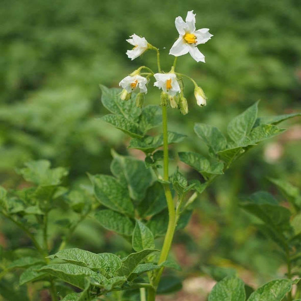 Potato Tps - Diploid Mix (True Potato Seeds) - (Solanum Tuberosum) - Ossi Seeds