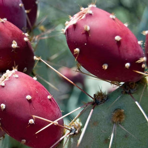 Prickly Pear (Hardy) - (Opuntia Macrorhiza) Seeds