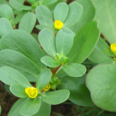 Purslane Green - (Portulaca Oleracea Sativa) Seeds