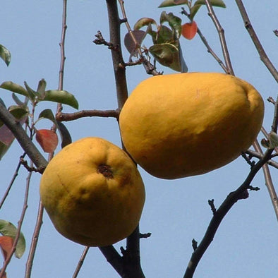 Quince Chinese - (Chaenomeles Sinensis) Seeds
